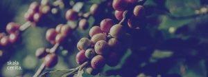 sejarah perkebunan kopi